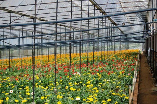 Làng hoa Vạn Thành được trồng đa dạng các loài hoa, với công nghệ tiên tiến, máy móc hiện đại