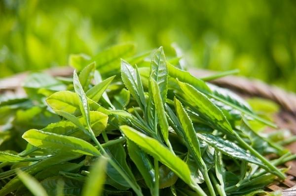 Trà xanh giúp chống lại quá trình lão hoá