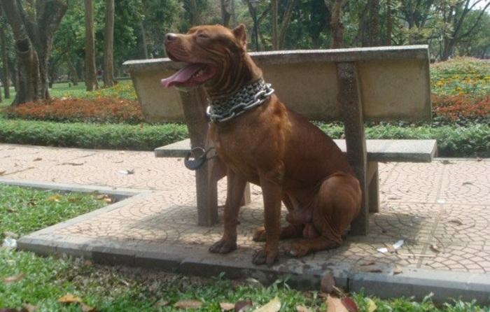 Một chú chó giống Pitbull tại trại chó Bình Xoáy Thái.