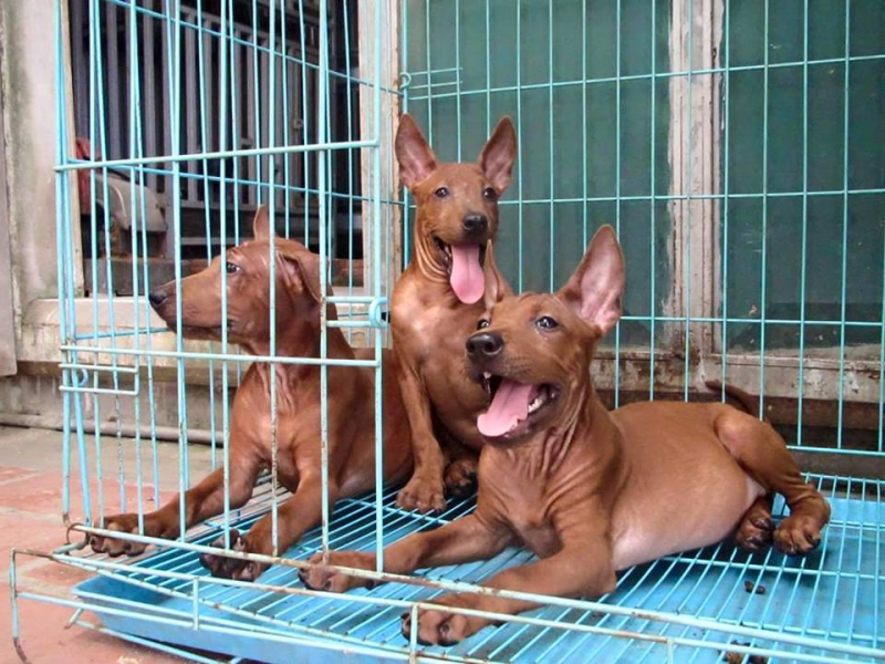 Trại chó Bình Xoáy Thái