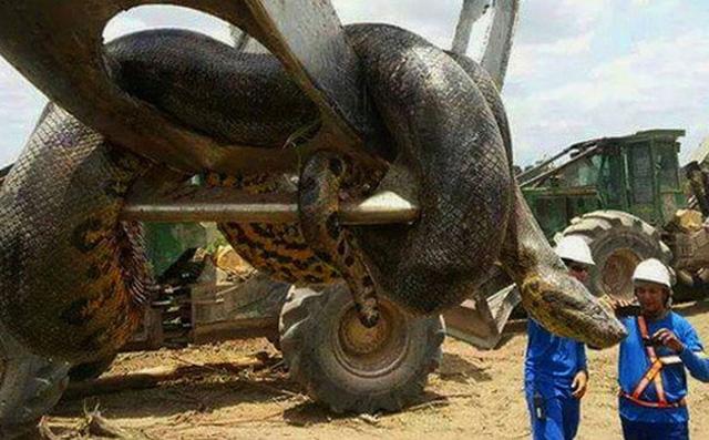 Trăn Anaconda