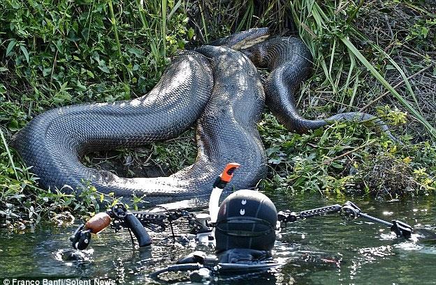 Loài trăn Anaconda khổng lồ với kích thước không tưởng