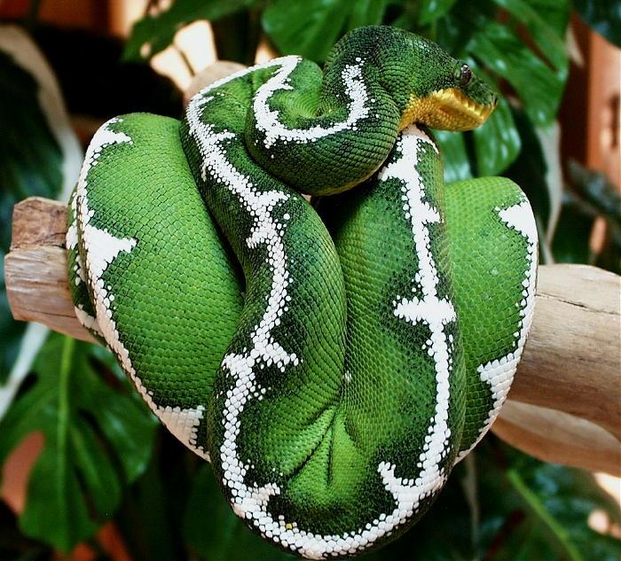 Trăn xanh Amazon vùng Nam Mỹ
