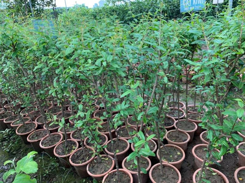 Trang trại hoa và cây giống Xuân Khương