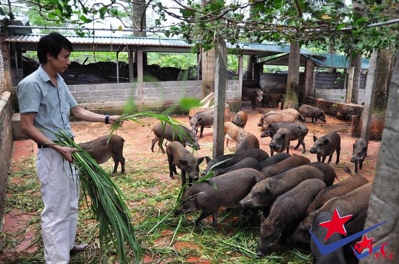 Lợn rừng giống sinh sản của trang trại NTC