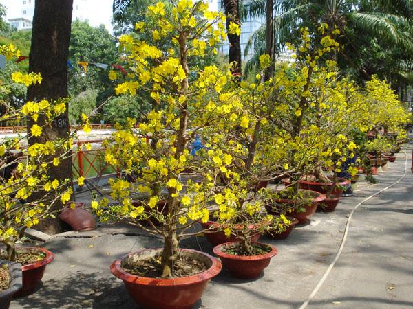 Cây mai là loại cây ưu thích của Người Việt mỗi khi Tết đến Xuân về