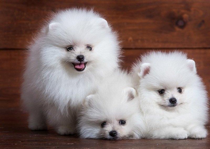 Top 7 trang web bán chó cảnh tốt và uy tín nhất ở TPHCM