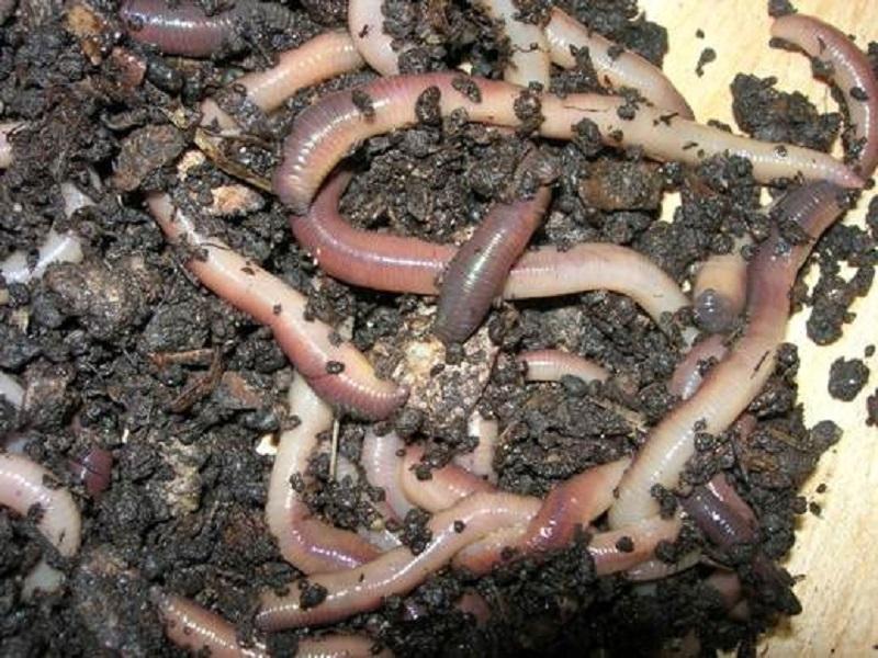 Giun đất và đường trắng có thể làm lành vết bỏng mà không để lại sẹo