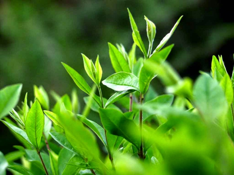 Trị thâm mụn bằng trà xanh