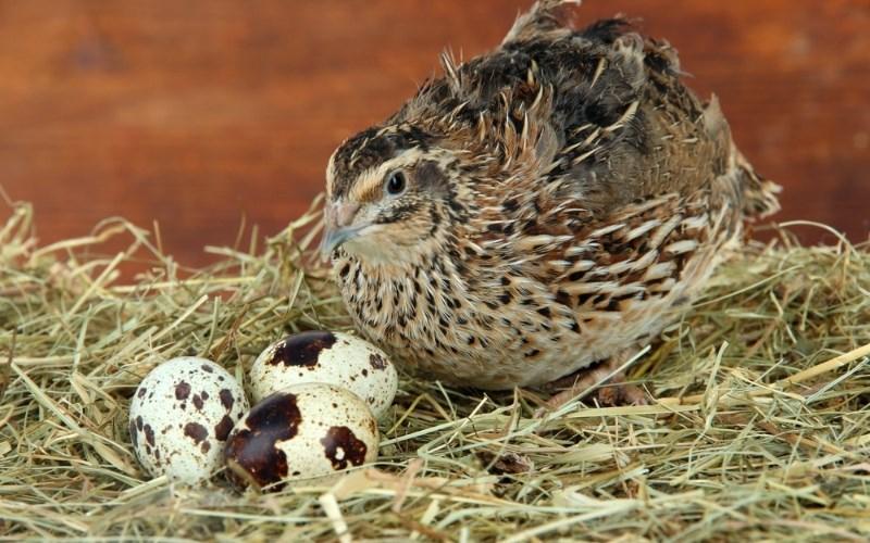 Trứng cút giúp ngừa bệnh sỏi mật