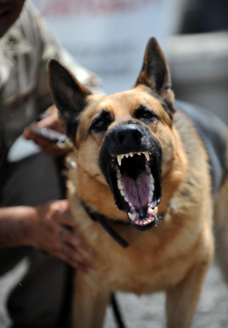 Chó Becgie là loài vật rất thông minh và trung thành
