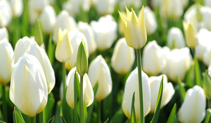 Tulip kem