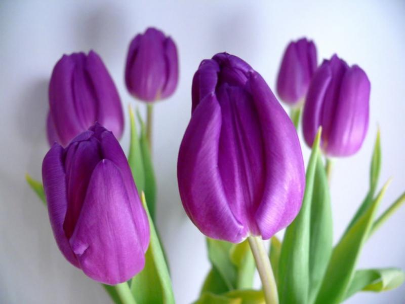 Tulip tím