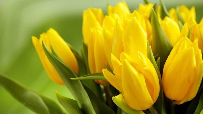 Tulip vàng