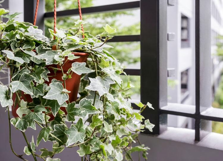 Cây phong thủy hợp với người tuổi Dần còn có cây thường xuân hoặc dương xỉ.