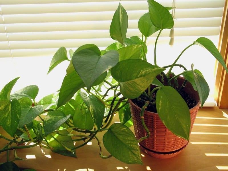 Ai mang tuổi Ngọ nên trồng một cây Trầu Bà trong nhà.