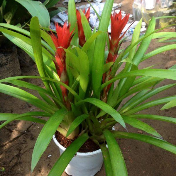 Người tuổi Sửu nên trồng một cây Phong Lộc Hoa
