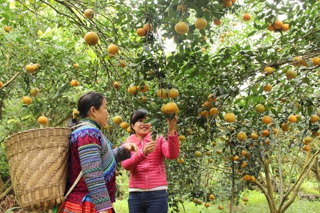 Hàm Yên - Tuyên Quang vào mùa Cam Sành