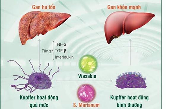 Chất độc đều thải qua gan nên cần chú ý chế độ ăn uống hợp vệ sinh.