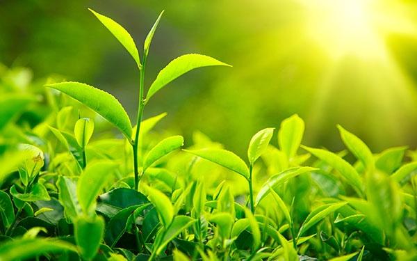 Trà xanh giúp ngăn ngừa những nguy cơ loãng xương