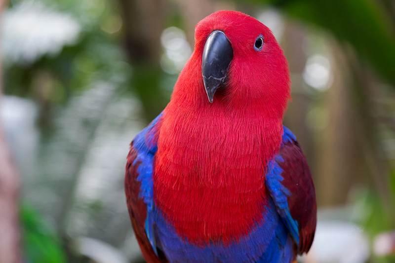 Vẹt Eclectus Parrot là loài chim có khả năng phát âm rõ ràng nhất