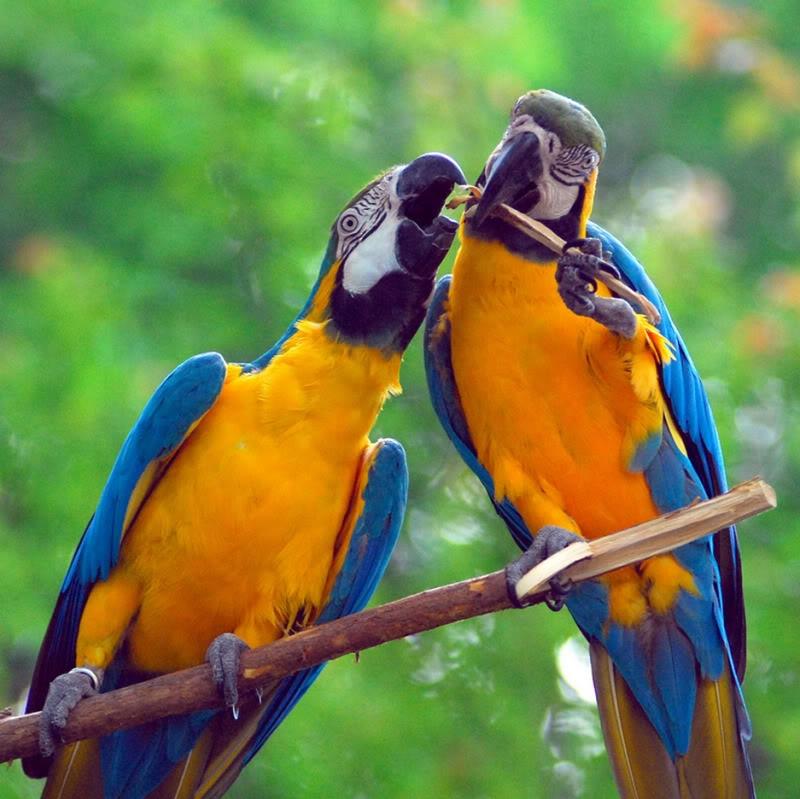 Vẹt Macaw thể hiện tình cảm