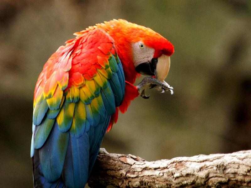 Vẹt Scarlet Macaw