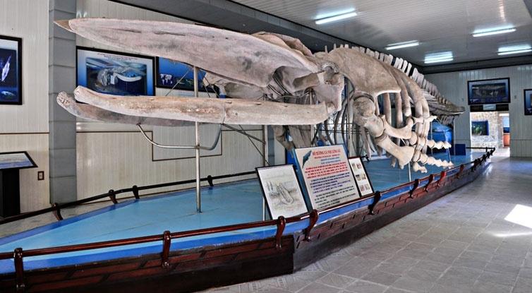 Xương cá voi trung bày trong viện Hải dương học
