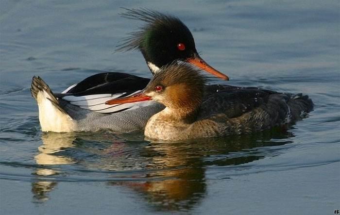 Môi trường sống của chúng chủ yếu ở khu vực bắc bán cầu