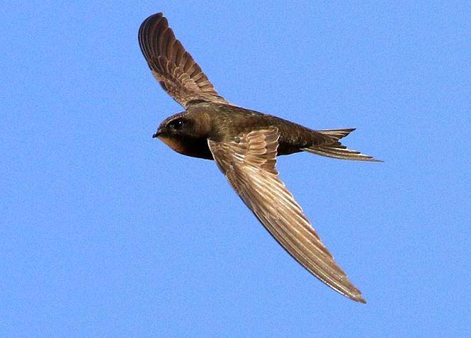 Chim yến thông thường (Apus apus) có thể bày với tốc độ 209km/h