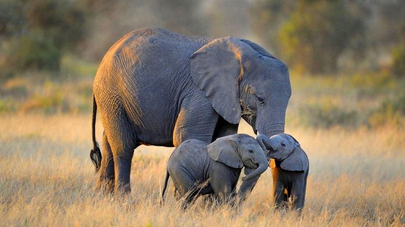 Voi là loài động vật to lớn nhất ở trên cạn