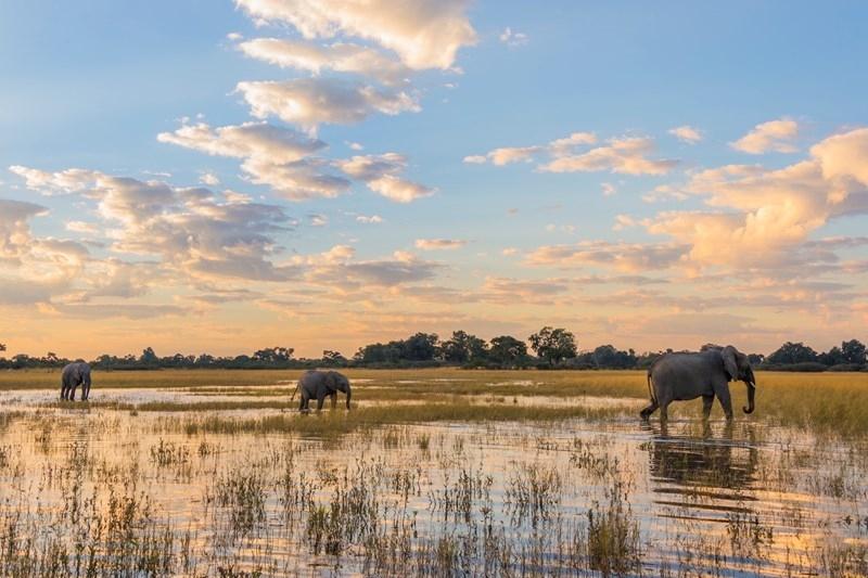 Voi đồng cỏ Châu Phi