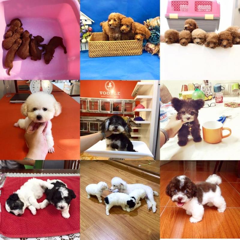 Voodlehouse shop chuyên cung cấp giống chó Poodle thuần chủng.