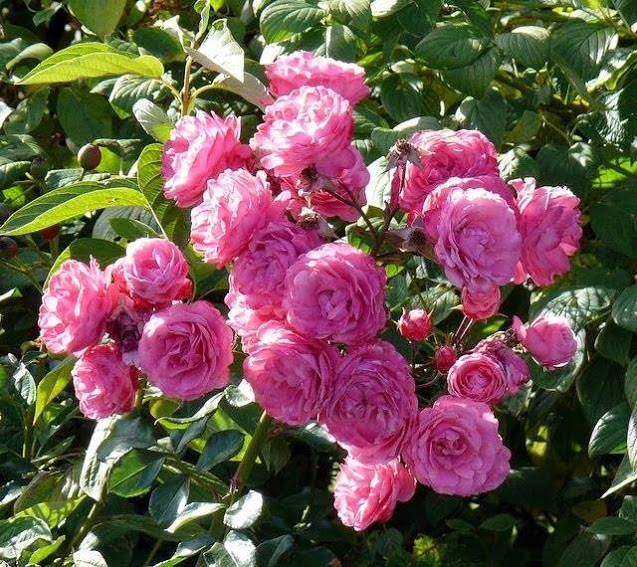 Hạt giống hoa hồng leo màu hồng