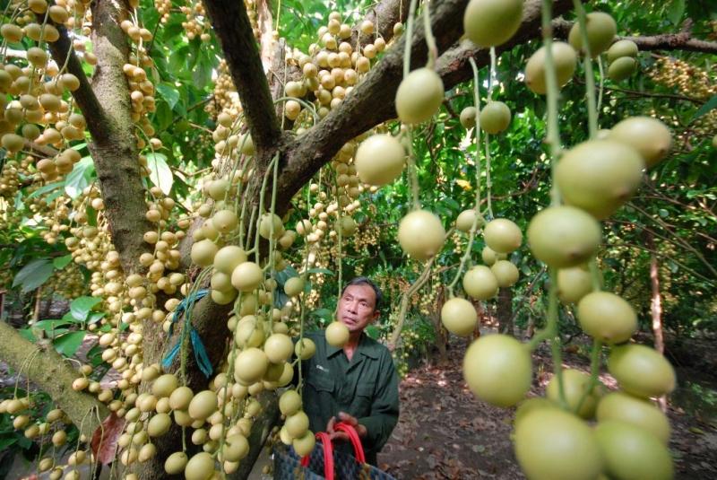 Vườn nhãn trĩu quả