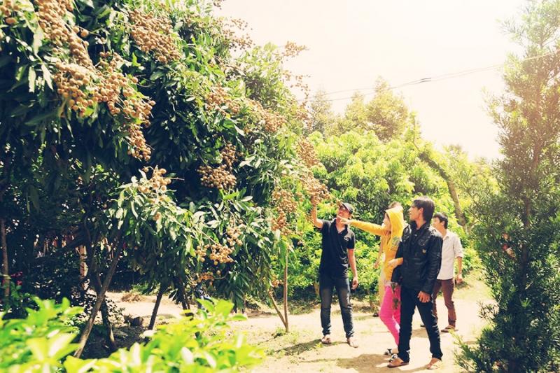 Khách đến tham quan hái trái trực tiếp tại vườn