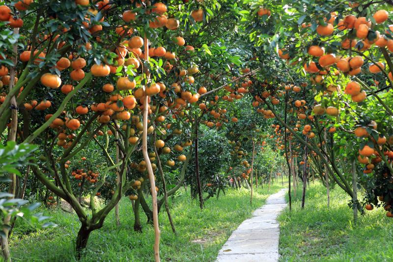 Vườn cây ăn trái Cái Mơn.