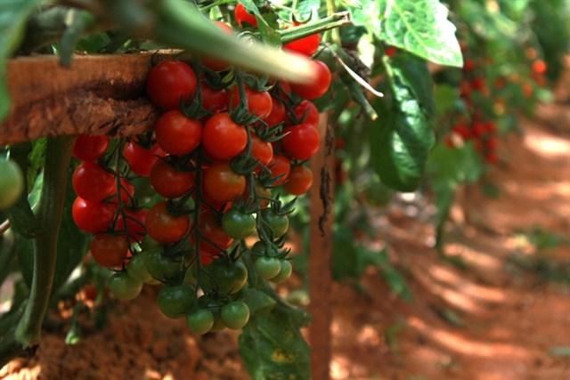 Vườn dâu Bà Vai ngoài dâu tây là chính thì còn có rất nhiều các loại hoa quả Đà Lạt khác