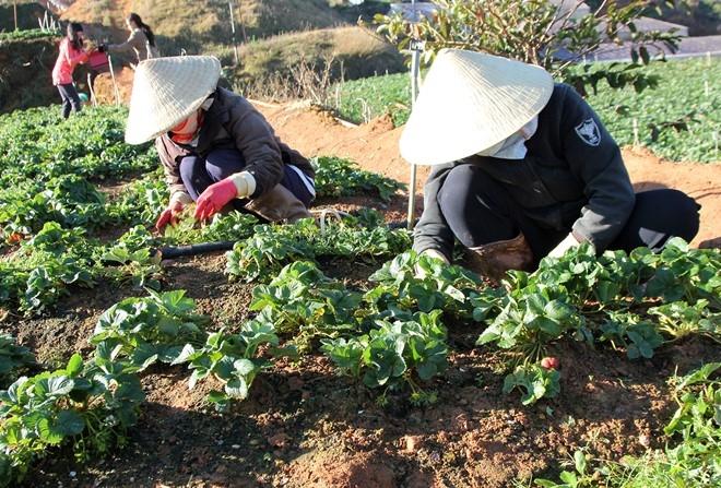 Những luống dâu được trồng trực tiếp dưới mặt đất
