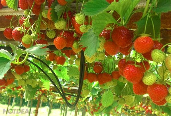 Những trái dâu xum xuê trĩu quả