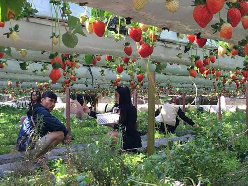 Vườn dâu sinh học Tùng Nguyên