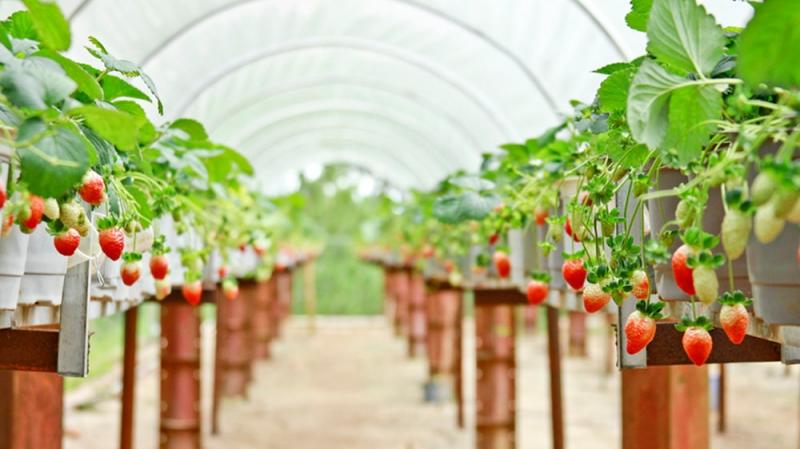 Vườn dâu tây Biofresh ở Đà Lạt