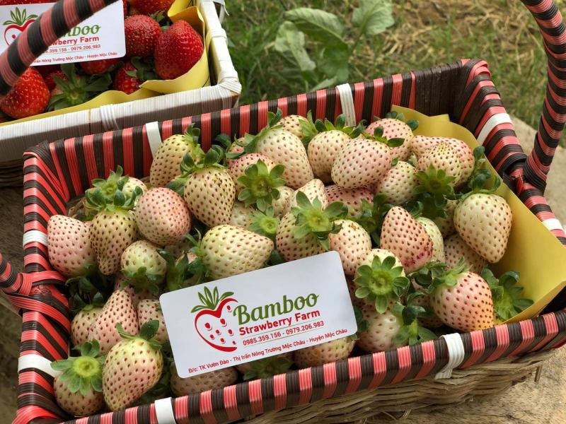Vườn dâu tây Bamboo Strawberry Farm.