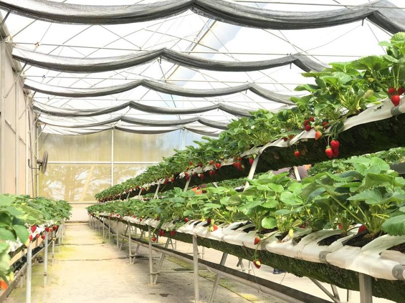 Sản phẩm dâu tây tại Thắng Thịnh đạt chuẩn VietGAP, ứng dụng công nghệ hiện đại của Canada và Mỹ