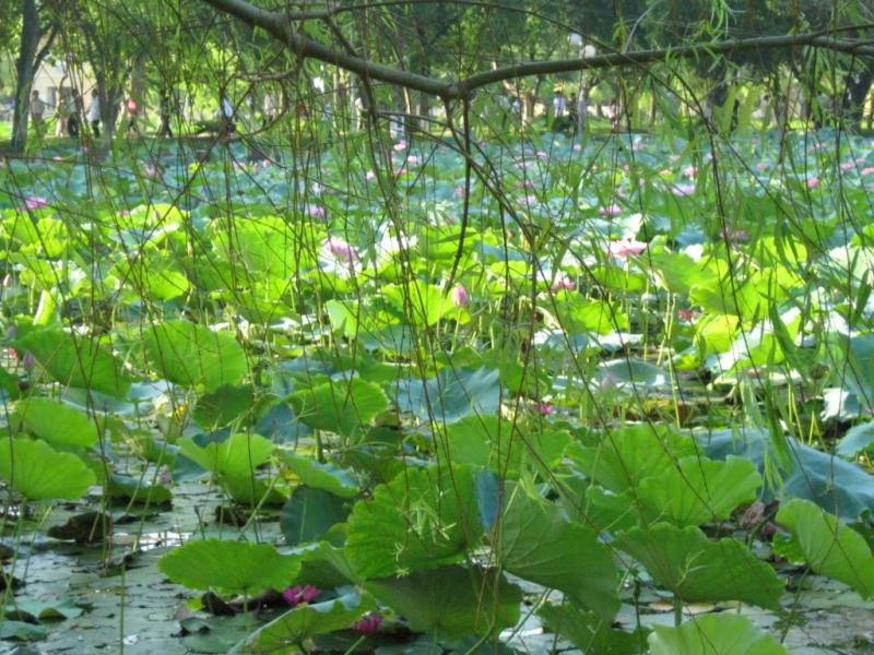 Hồ sen nông nghiệp