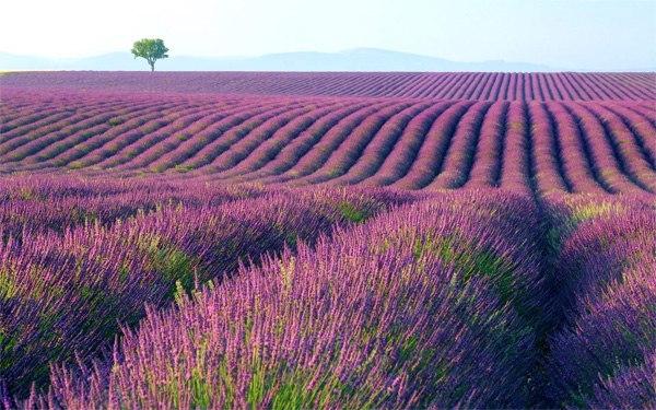 Vườn hoa oải hương Provence – Pháp