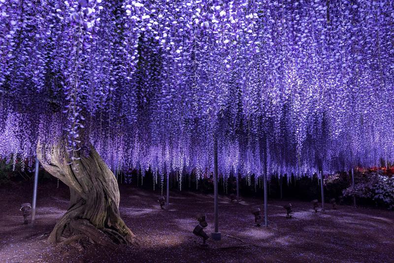 Vườn hoa tử đằng Ashikaga – Nhật Bản