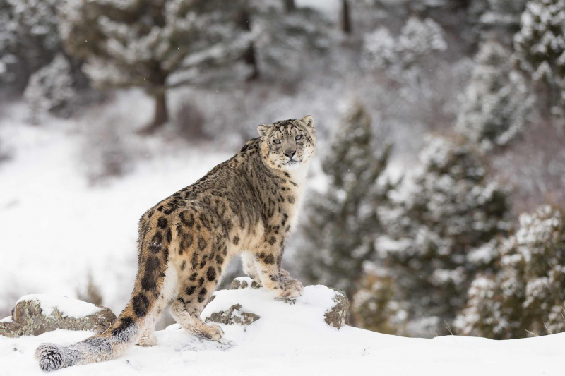 Báo tuyết - một trong những loài động vật quý hiếm được bảo tồn tại Vườn quốc gia Khangchendzonga