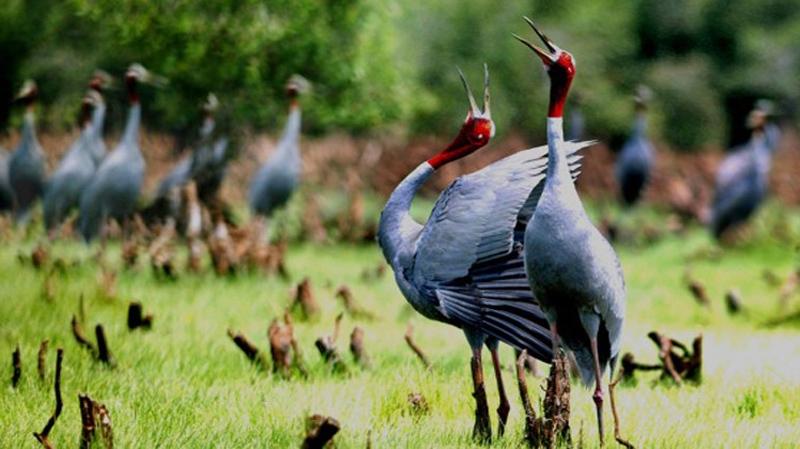 Sếu đầu đỏ tại vườn quốc gia Tràm Chim
