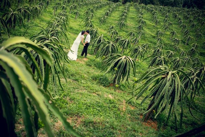 Vườn Thanh Long xanh mơn mởn